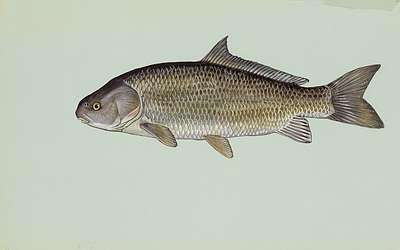 سمكة عظمية