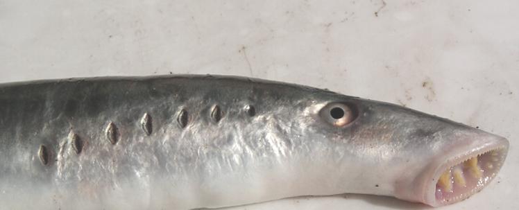 سمكة عديمة الفك