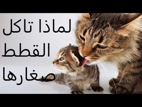 لماذا تاكل القطة صغارها