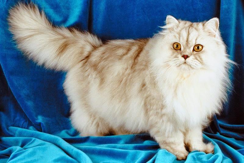مدة حمل القطط الشيرازي