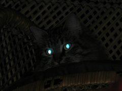 لماذا تتوهج عيون القطط والكلاب