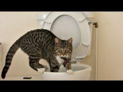 كيف تجعل قطتك تستخدم المرحاض